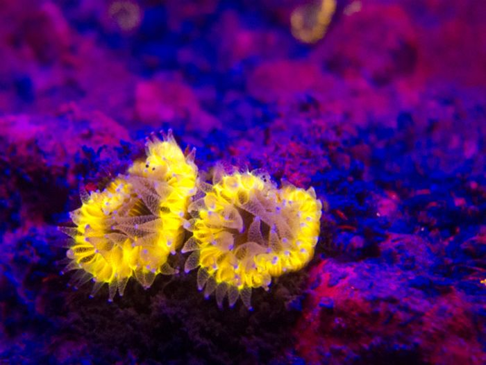 Coral Reefs Look Stunning Under UV Light (23 pics)