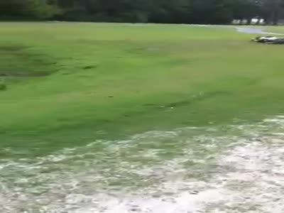 Crocodiles Fight At The Golf Course