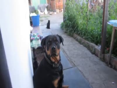 How to Scare A Huge Rottweiler