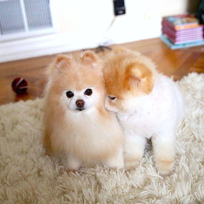 Boo And Buddy Make A Cute Couple (25 pics)