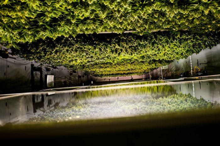 Inside A Marijuana Growhouse (8 pics)