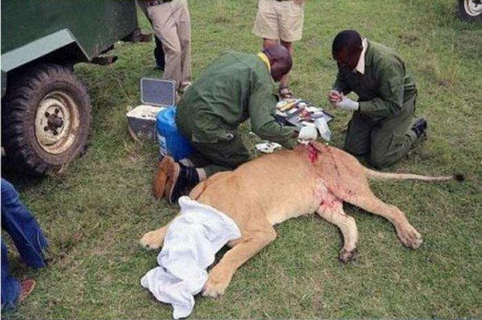 These People Saved A Lion Who Was Brutally Injured (8 pics)