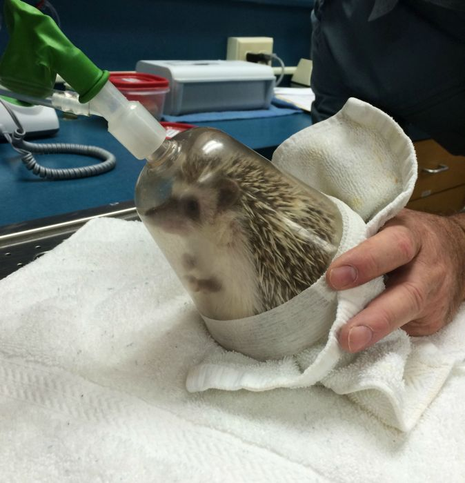 What It Looks Like When Hedgehogs Get Anesthesia (10 pics)
