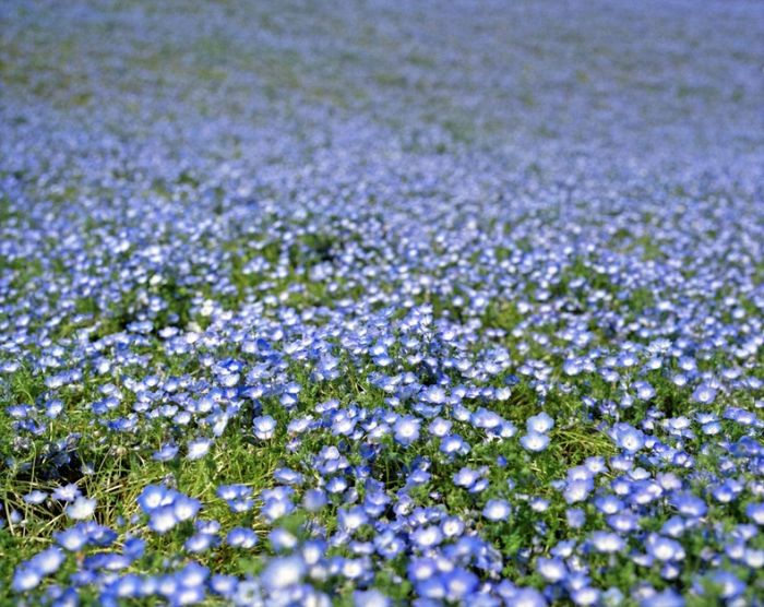 The World S Most Amazing Blue Flower Fields 14 Pics