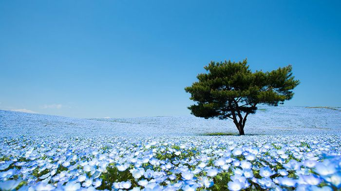 The World's Most Amazing Blue Flower Fields (14 pics)
