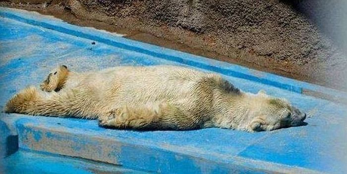 The World's Saddest Polar Bear (7 pics)