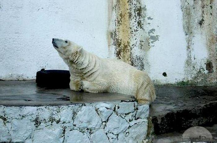The World's Saddest Polar Bear (7 pics)