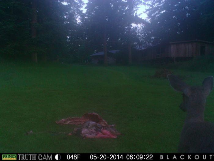Deer Guts For Dinner (12 pics)