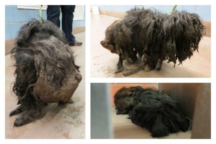 Dog Makes An Epic Transformation (10 pics)
