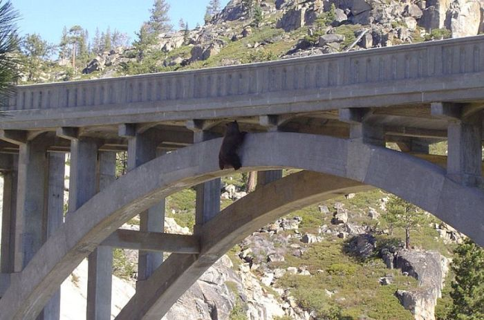 Bear Gets Rescued From A Bridge (6 pics)