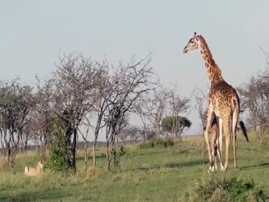 Brave Mother Giraffe Rescues Its Cub From Lions