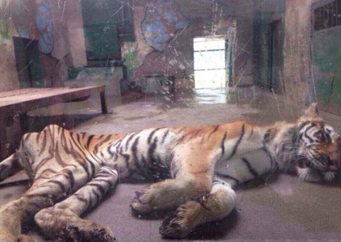 Ridiculously Thin Tiger (4 pics)