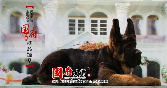Giant Chinese German Shepherd (12 pics)