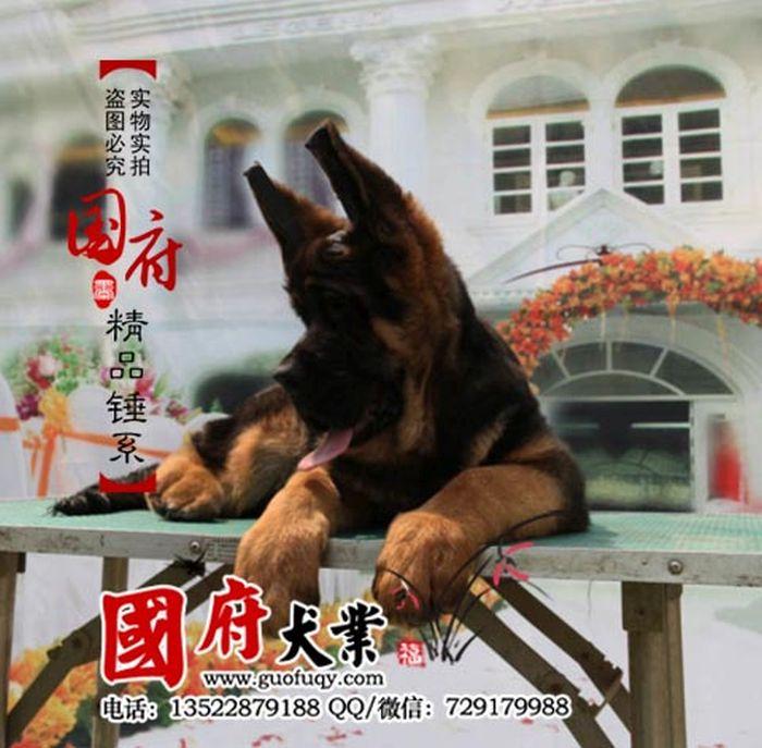 Giant Chinese German Shepherd (12 pics)