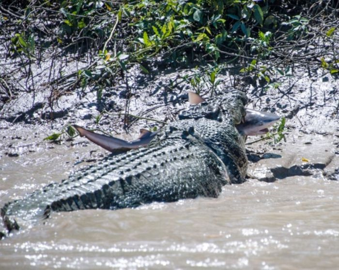 A Crocodile vs a Shark (5 pics)
