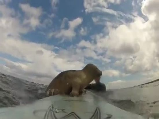 Little Seal Wants To Be A Surfer