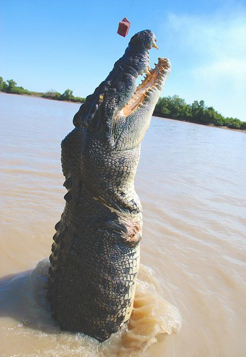 Meet Brutus The Giant Croc (7 pics)