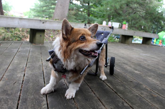 Disabled Dog Gets A Second Chance (11 pics)