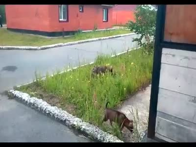 Dogs Chasing A Cat
