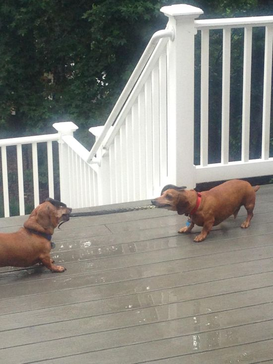 Dogs Play Tug Of War With A Snake (2 pics)