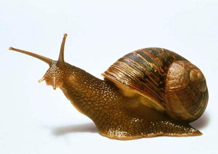 Snail Eggs Are A Delicacy (8 pics)