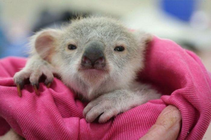 Meet Blondie Bumstead The Baby Koala (7 pics)