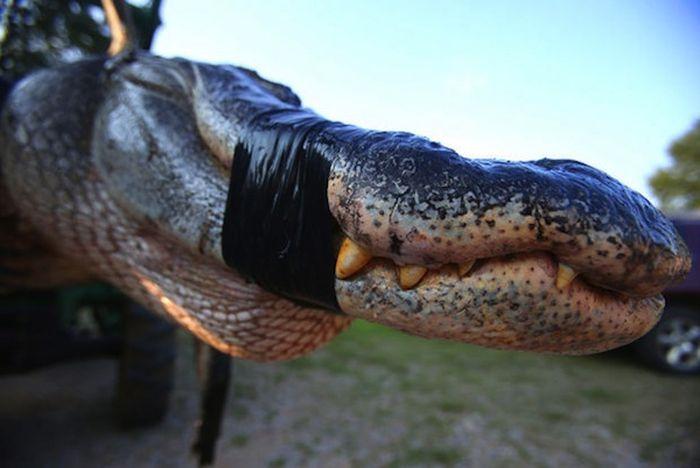 1,000 Pound Alligator (13 pics)