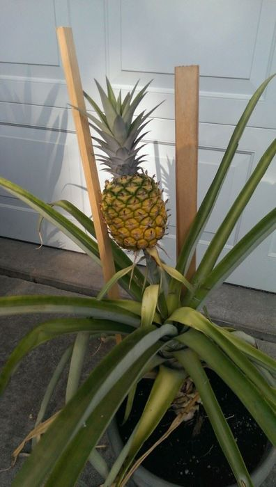 growing a pineapple from start to finish 20 pics. Black Bedroom Furniture Sets. Home Design Ideas