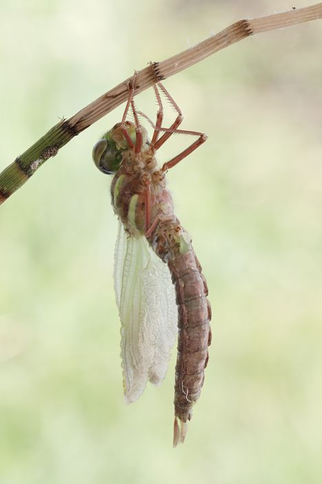 How A Dragonfly Is Born (10 pics)