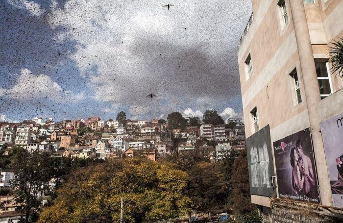 Locust Swarm Takes Over Madagascar (6 pics)