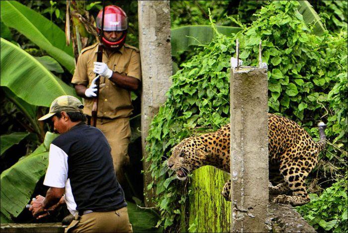 When A Leopard Attacks (7 pics)