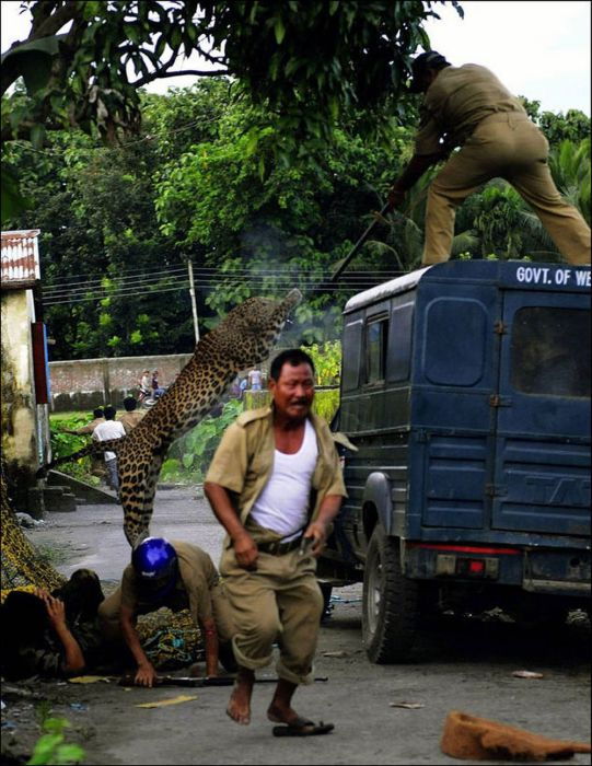 When A Leopard Attacks (7 pics)