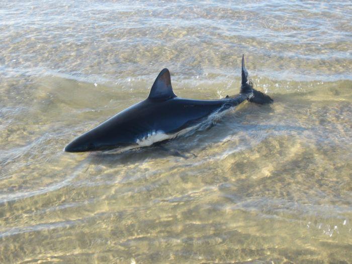 The Greatest Shark Throw Ever (5 pics)