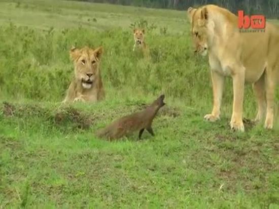 Brave Mongoose Vs Lions