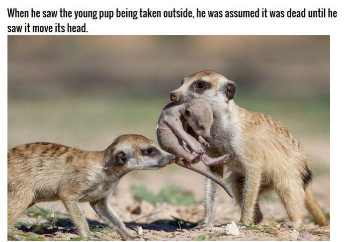 Meerkat Family Saving Their Pups (8 pics)