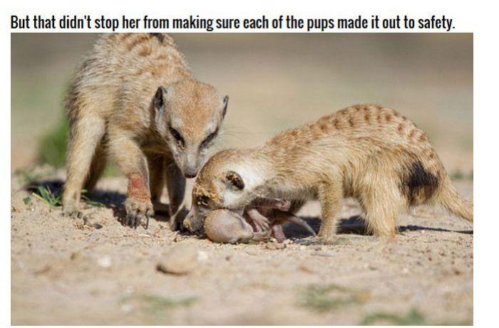 Meerkat Family Saving Their Pups (8 pics)