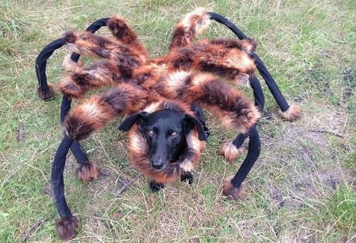 Dog Runs Around In A Giant Tarantula Costume (5 gifs)