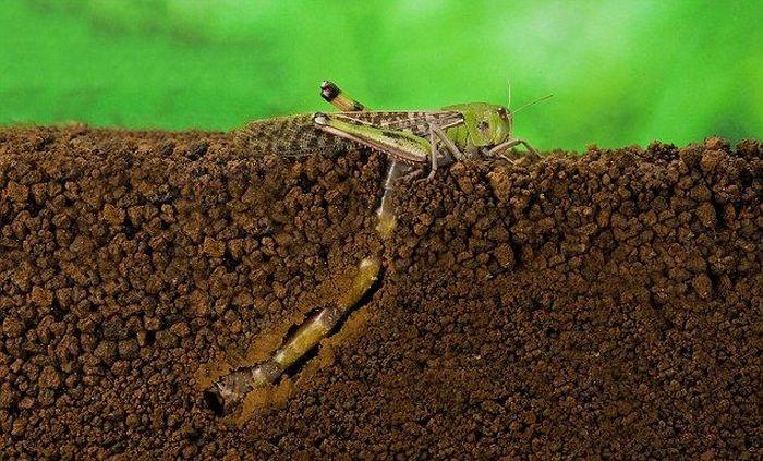 How A Locust Lays Eggs (7 pics)