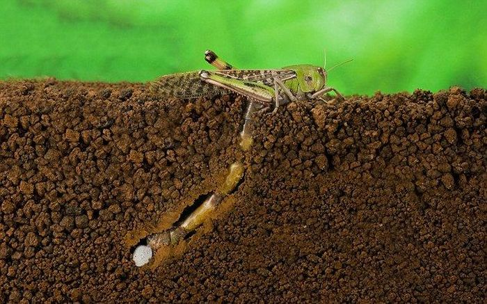 How A Locust Lays Eggs (7 pics)