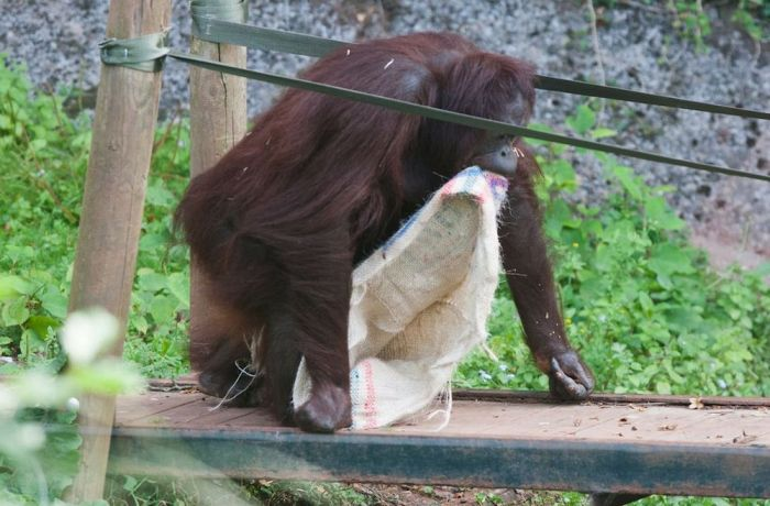 This Orangutan Wears Fancy Clothes (11 pics)