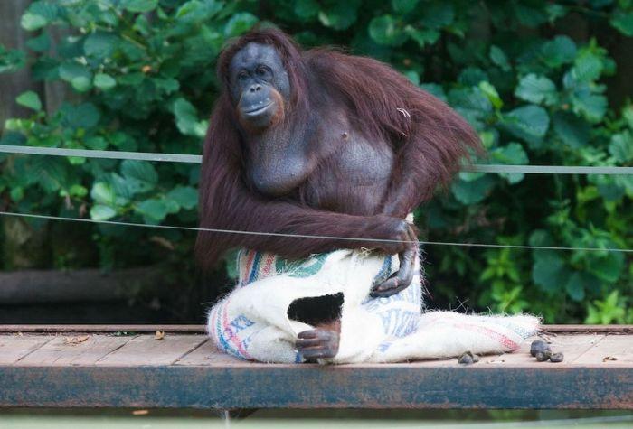 This Orangutan Wears Fancy Clothes (11 pics)