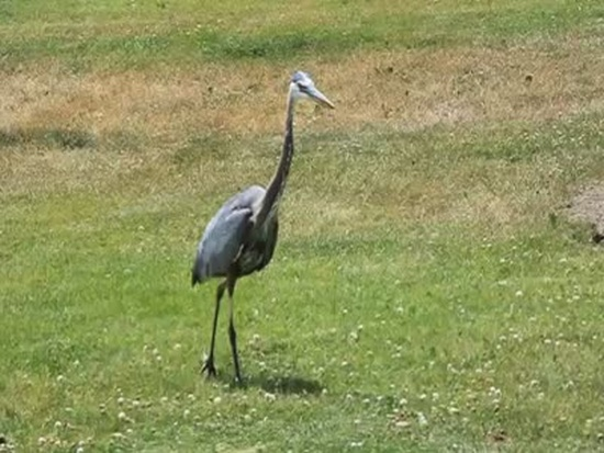 Blue Heron Waiting For Its Dinner