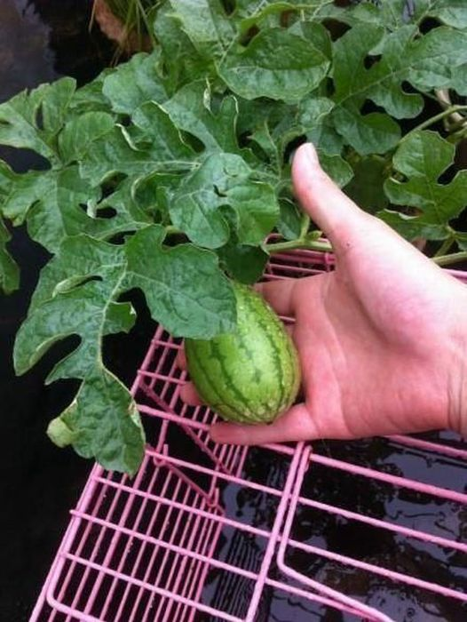 How A Watermelon Grows From Start To Finish (7 pics)