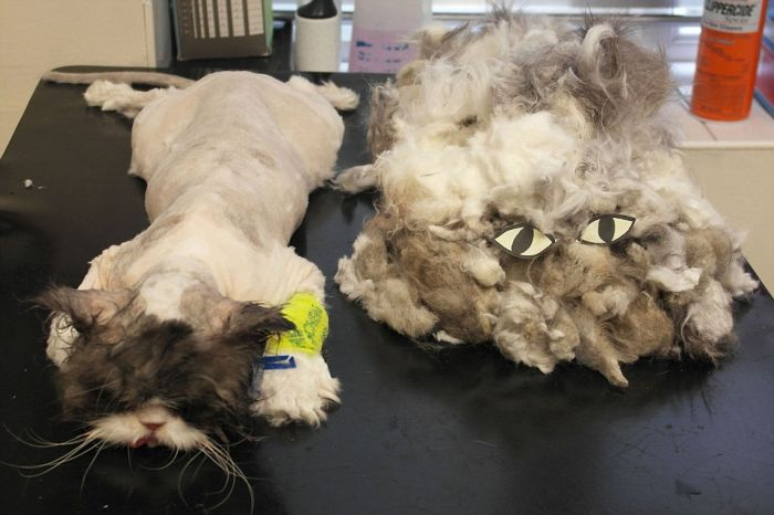 There's A Cat Underneath All That Hair (6 pics)