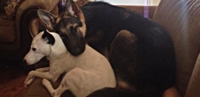 Tiny German Shepherd Grows Up To Be A Big Dog (2 pics)
