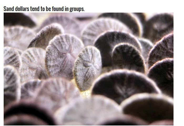 Why Sand Dollars Look The Same (4 pics)