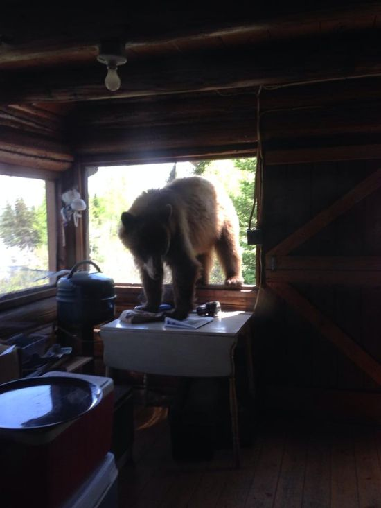 If This Bear Wants To Get In Then He's Gonna Get In (6 pics)