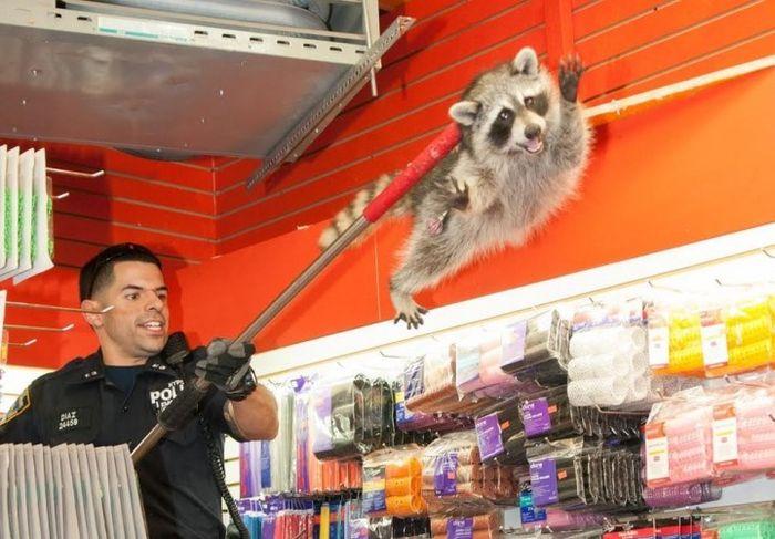 New York City Raccoon Becomes Internet Sensation (20 pics)