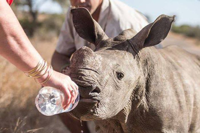 Poachers Leave Rhino Orphaned (4 pics)