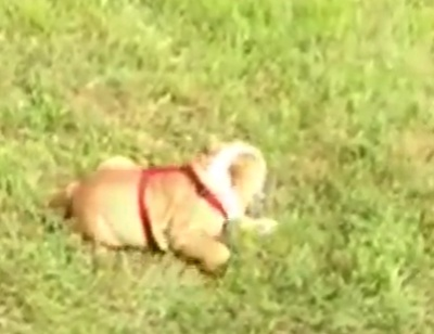 Funny Bulldog On The Grass